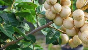 Kelengkeng durian