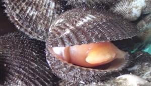 Hasil gambar untuk kerang bulu