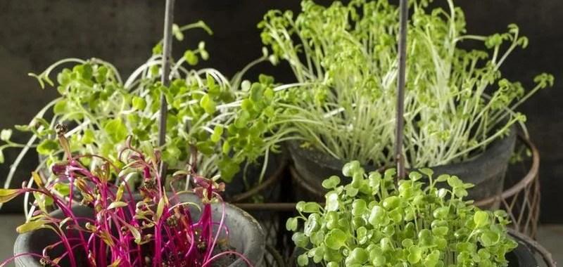 Tips Mudah Menanam Microgreens Sendiri di Rumah