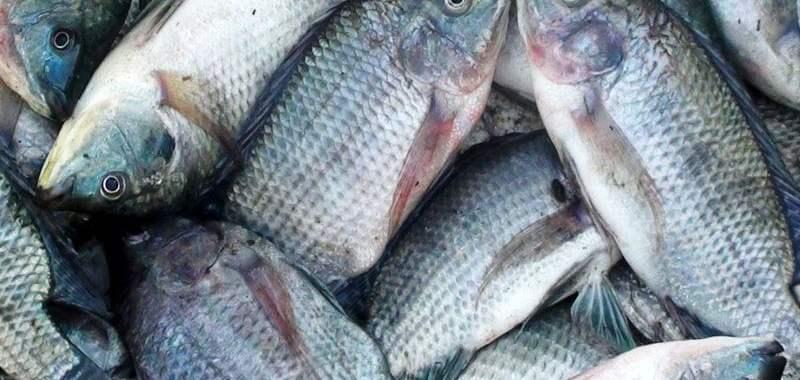 Tips Hilangkan Bau Tanah pada Ikan Air Tawar