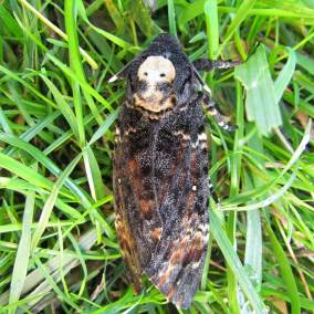 Sphinx tête de mort (Acherontia atropos) - © Steve MONEUSE