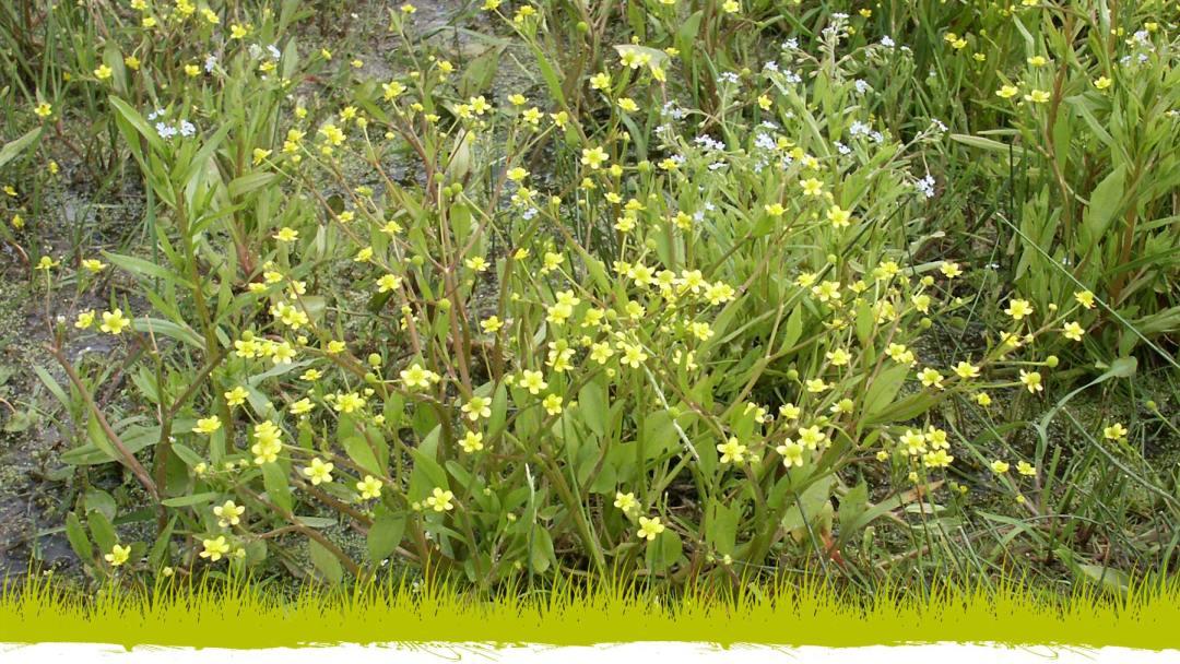Renoncule à feuilles d'ophioglosse : la flore de la Réserve naturelle régionale du Marais de la Vacherie