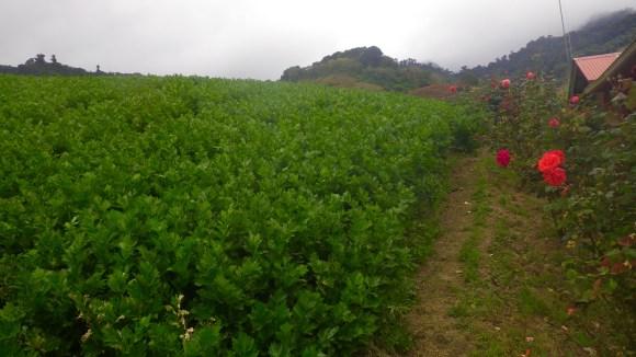 Cerro Punta Celery best shot