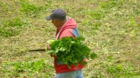 cerro punta celery crop 4