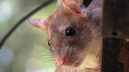 rat liverpool