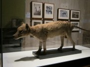 The thylacine room