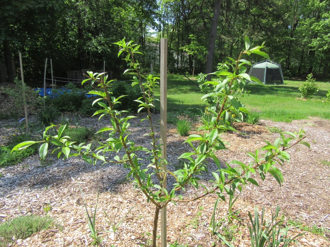 Peach Tree after pruning