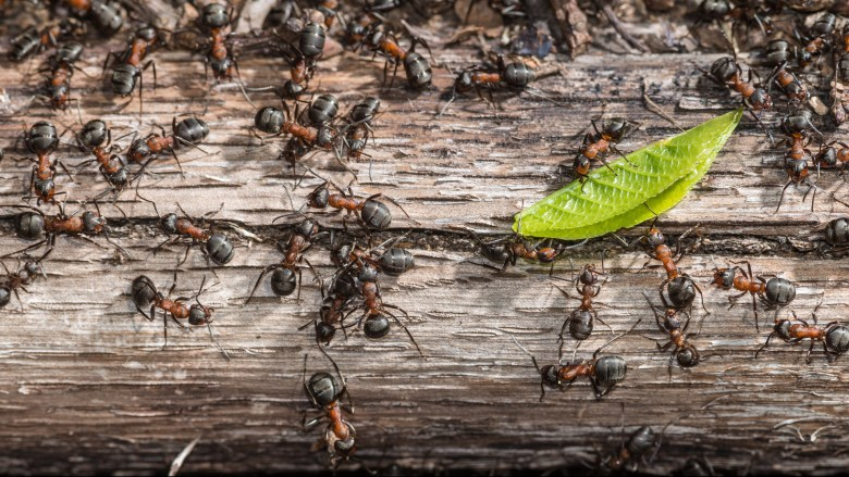 Colony of red wood ants fighting over a green leaf