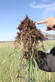 Drill when it is wet impact rootdevelopment. Semis en direct (semoir à disques) quand c'est humide a impacté énormémet le développement de ce couvert. La pampa, Argentina.