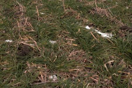 Will Glazik – Du semis direct en agriculture biologique. Blé semé en direct après une soja en semis direct dans du seigle. L'agriculteur est certifié agriculture biologique https://resilientagriculture.wordpress.com/2017/03/21/will-glazik-du-semis-direct-en-agriculture-biologique/.
