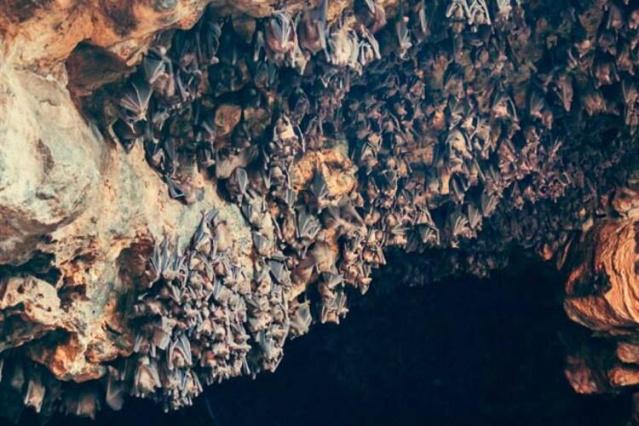 """Çalışma şöyle özetlendi: 'Yunan'daki bir mağarada bulunan yarasalar yakalandı ve laboratuvar deneyleri için kullanılan coronavirüsler için örneklendi."""""""