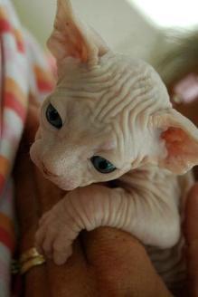 Pet-Yavru Kedi