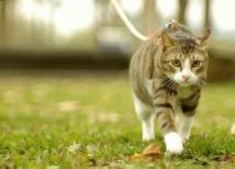 Tasmalı Kedi