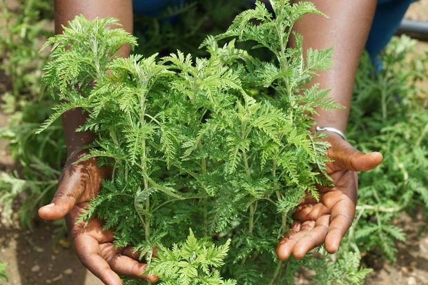 Une plante Artemisia dans l'une des exploitations créés sous l'impulsion de la Maison de l'Artemisia fondée par Lucile Cornet-Vernet