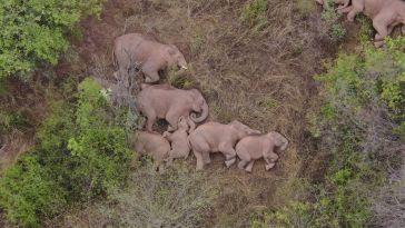 Scène magnifique en Chine, le troupeau d'éléphants en fuite s'offre une sieste