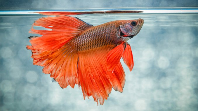5 Things Everyone Gets Wrong About Betta Fish | HowStuffWorks