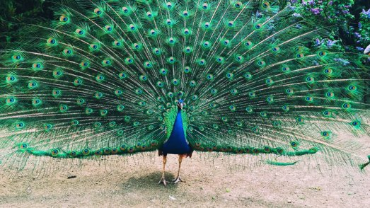 If a Peacock Loses His Tail Feathers, Do They Grow Back ...