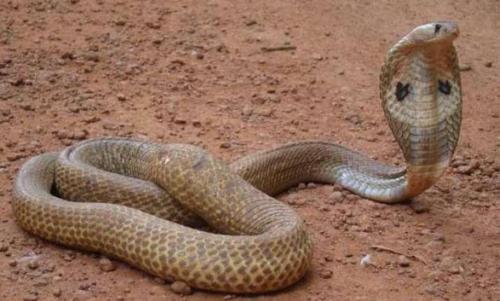 Image Result For Ular King Cobra