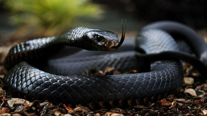 WATCH: This man catching Black Mamba, one of the most deadliest ...