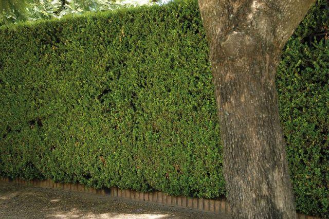 Para lograr que las plantas de buxus tengan la altura suficiente para funcionar como cerco perimetral, deben pasar varios años.
