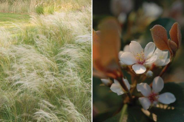 Izquierda: Nassella tenuissima o = Stipa tenuissima, una herbácea perenne. Derecha: Rhaphiolepis umbellata o Rafolepis, un arbusto, también de follaje perenne.