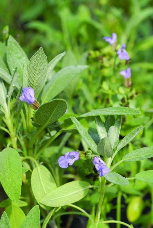 La forma redondeada y el color grisáceo del follaje vuelven a la salvia protagonista en cualquier diseño con plantas aromáticas.
