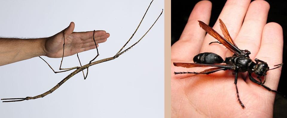 Insectes remarquables : phasme de Chan & guêpe faucon tarentule