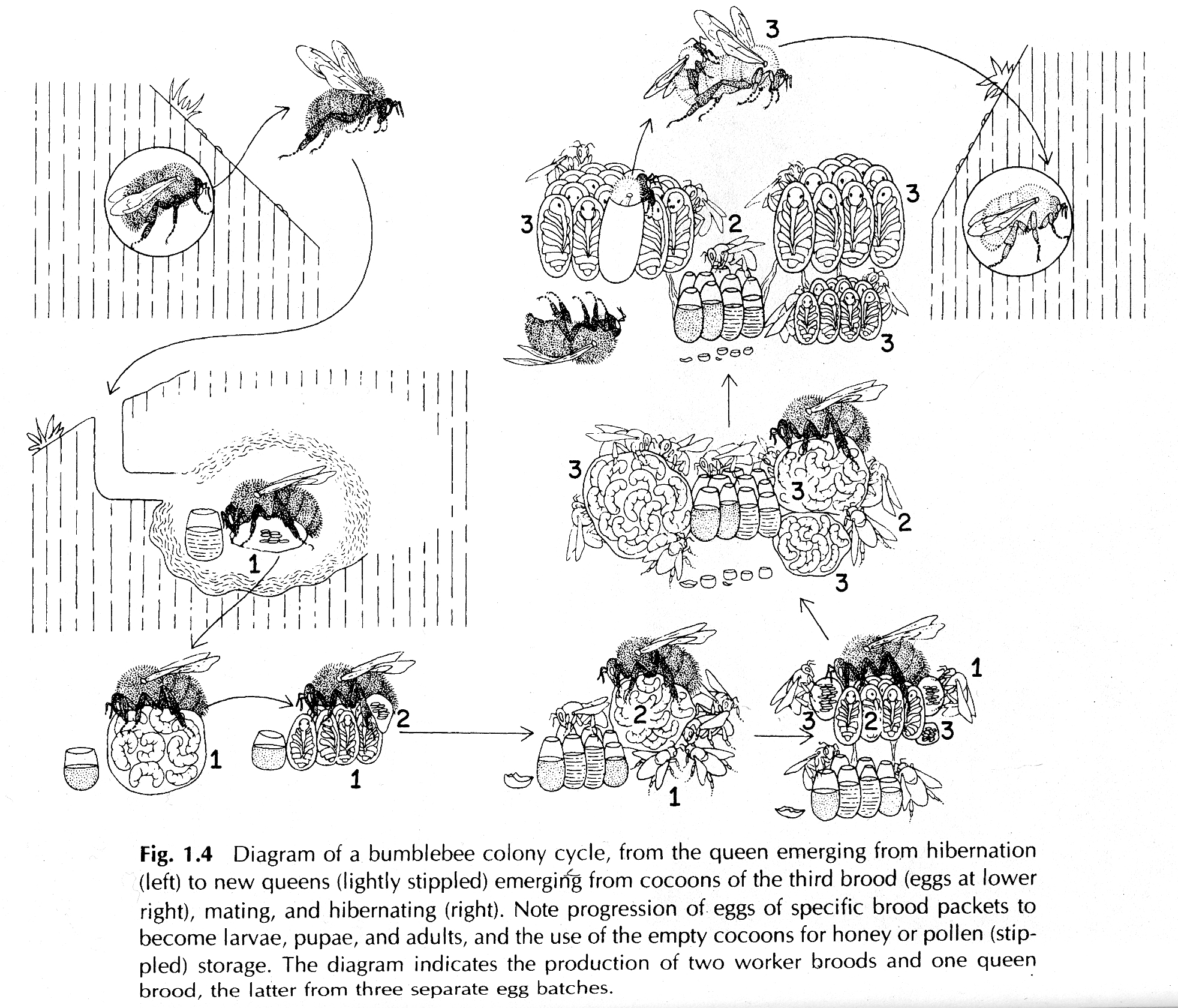 About Bees Habitat And Coevolution