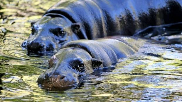 First Baby Pygmy Hippopotamus Born At Melbourne Zoo In 33
