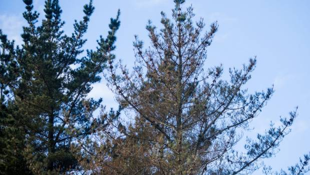 Pine trees have been hit by a fungus that turns needles red.