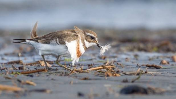 A banded dotterel at Waikanae Estuary on the Kāpiti Coast.