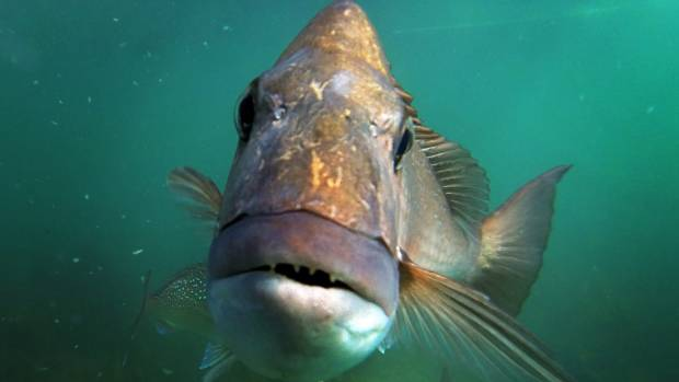 The warmer waters could have a boost on snapper fish stocks in New Zealand.