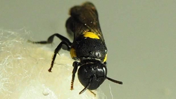 One of Harwood-Stevenson's hylaeus nubilosus bees, on its cotton wool pad.