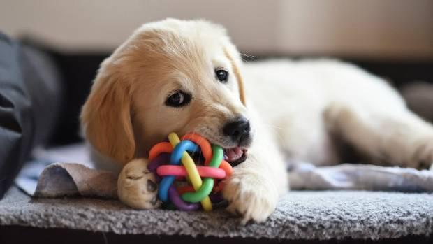 Certaines races de chiens sont particulièrement vulnérables, avec plus de la moitié de tous les golden retrievers qui meurent du cancer.