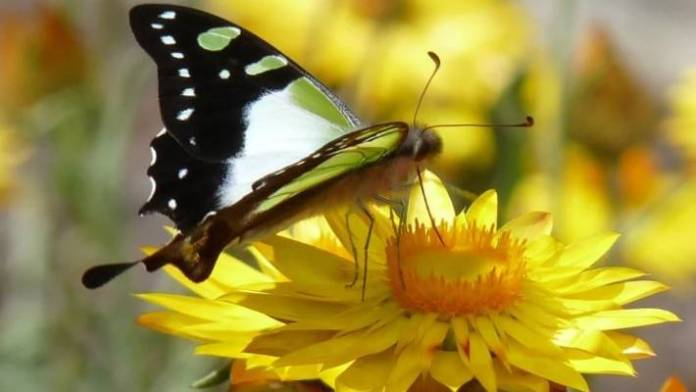 Macleay's Swallowtail, one of the butterflies found around Canberra.