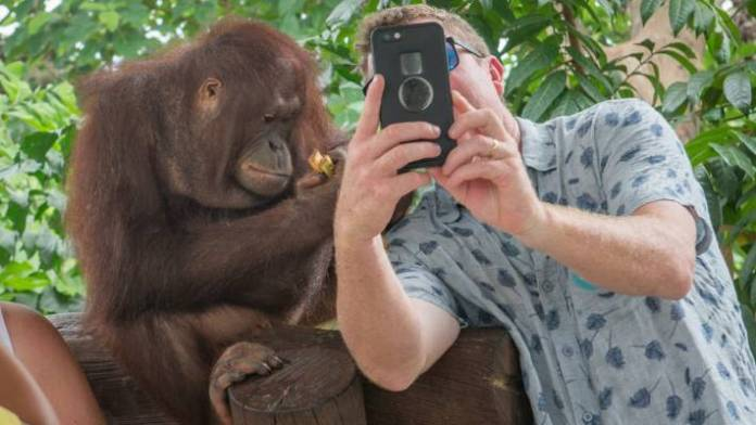 A tourist taking a selfie with an orangutan at a wildlife attraction in Bali, Indonesia.