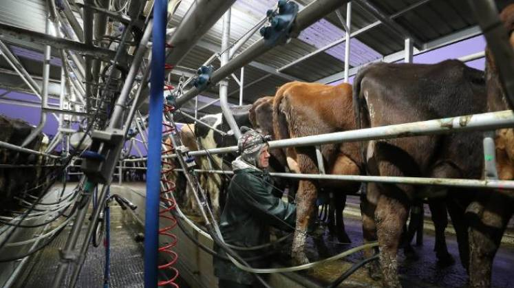 Dairy farmers are finding it difficult to get vaccinated during the busiest time of the year: calving season. (File photo)