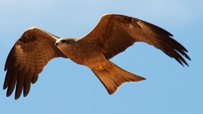 A juvenile black kite soaring on thermals in the wild. Scientists are investigating a mass run of deaths among the raptors.