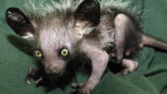 The Aye Aye is a lemur native to Madagascar. Picture: AP