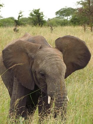 A young Tarangire National Park elephants stops near a safari vehicle. Picture: Sarah Nic