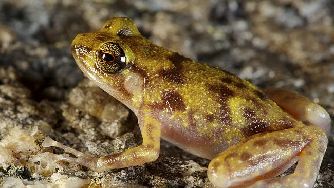 A new species of boulder frog found among the boulders of the Cape Melville Range. Picture: Supplied