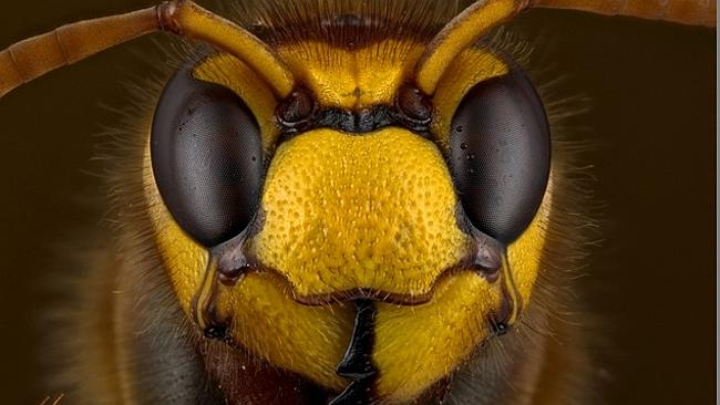 Face-to-face with a European Hornet, shot by Mr Lawrie Knight, is one of the many fascinating images in the Olympus BioScapes...