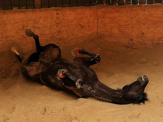 The Anthony Cummings-trained Drago enjoys a roll in the sand. Picture: Mark Evans