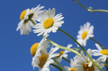 daisies-388946_640