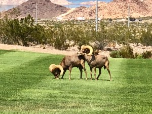 Loved seeing these native Big horn Sheep in Boulder City, Nevada USA. Perhaps this could be the Resource Therapy Institutes next training destination? Say 2020?