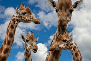 Advanced Skills in Resourcing Your Clients - Clinical RT Workshop Great for group learning. You don't need to be a giraffe!
