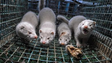 Denmark to extend ban on mink farms for further year