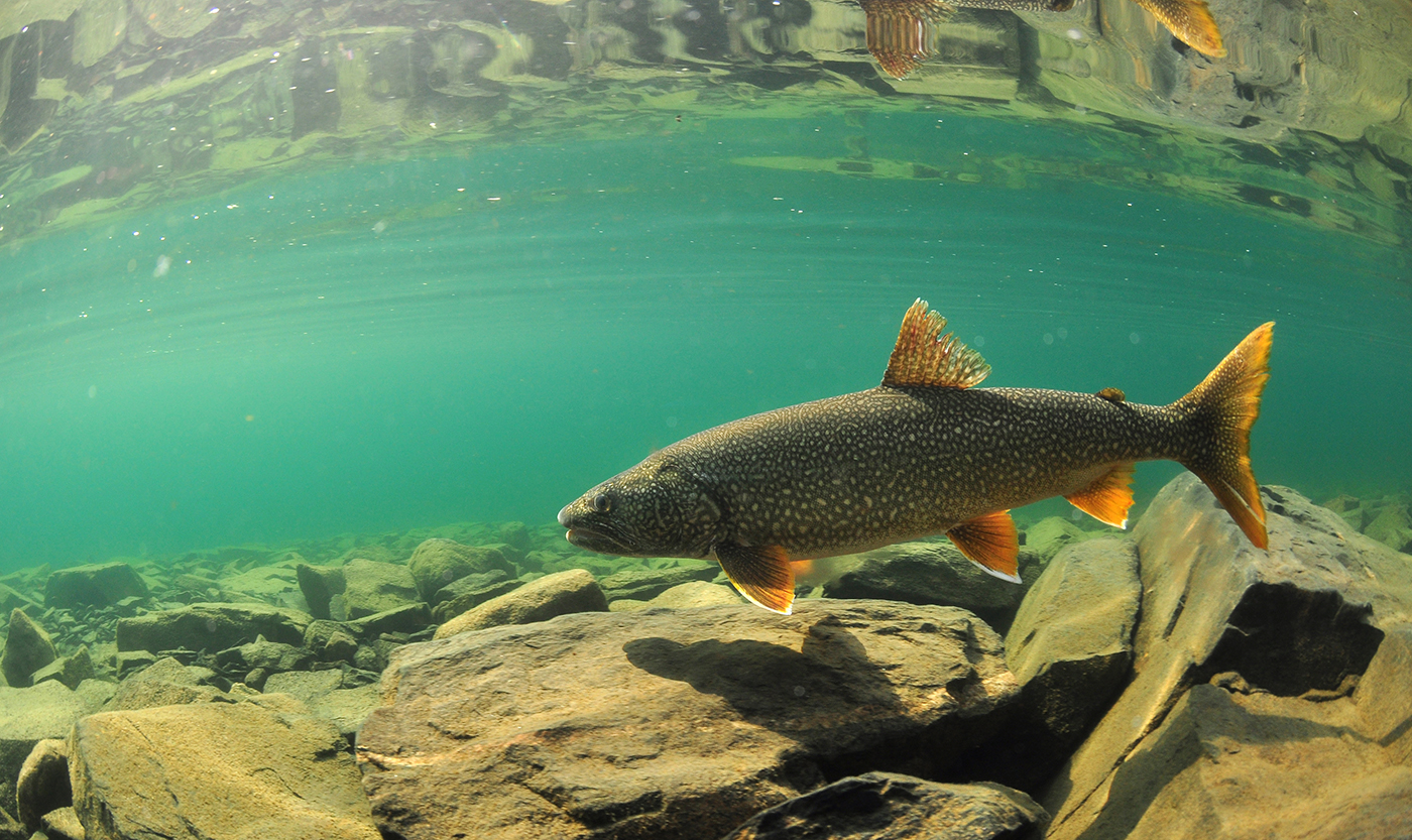 lake trout by Paul Vecsei