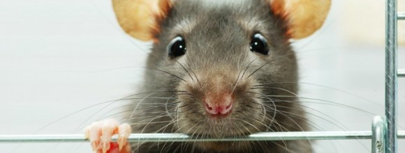 "Rats were tortured so that an acupuncturist at UCHealth could claim that acupuncture ""boosts the immune system."""