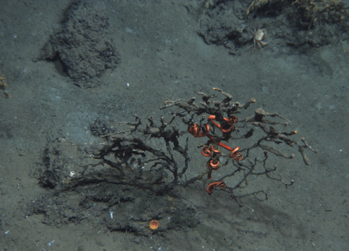 Injured deep-sea coral covered in brown material with its associated brittlestar